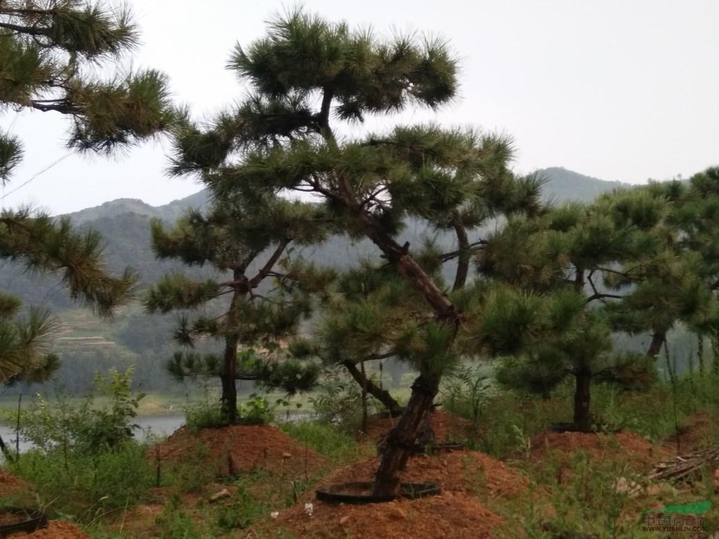 造型黑松价格_供应_图片_广西神州苗木种植基地