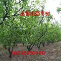 枣树苗基地・枣树基地在什么地方?山西枣树种植基地在哪里?