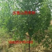 山西地区什么地方有卖枣树的?新品种冬枣树多少钱一棵?