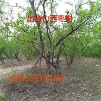 占地枣树价格・占地枣树产地・占地枣树图片・占地枣树供应山西