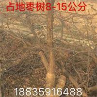 枣树产地・枣树图片・哪有裸根占地枣树?山西运城枣树多少钱?