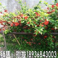 四季海棠苗價格,貼梗海棠報價,苗圃直銷海棠