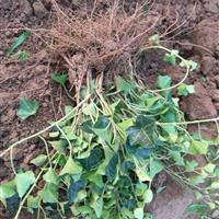 大量优质常春藤、与各类藤本植物