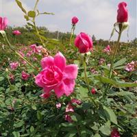 大量優質豐花月季(安吉拉)基地直銷 量大價優