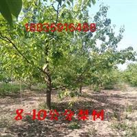 山西占地梨树价格・8公分10公分12公分15公分占地梨树价格