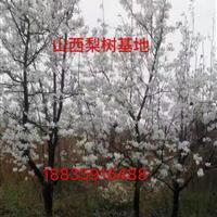 地径10公分梨树价格・地径15公分梨树图片・15占地梨树价格