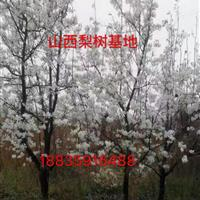 出售_山西运城梨树_地径10公分15公分20公分大梨树