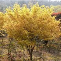 嫁接美国红枫,三季红枫,黄金枫等新品种,土地征用优先选择