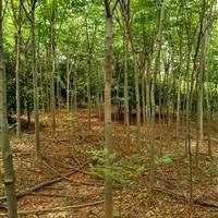 江西黄山栾树、乐昌含笑、深山含笑、南酸枣、朴树