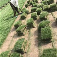 供应马尼拉草皮,数量足方,实地现量现挖