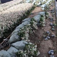 怎样培育优质花叶络石  花叶络石性价比高