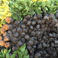 供应优质桃叶珊瑚毛球,桃叶珊瑚容器苗,地栽苗