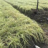 金叶苔草 绍兴金叶苔草便宜 那里有优质的金叶苔草批发 金叶苔