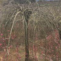 供应新品种--红垂枝梅
