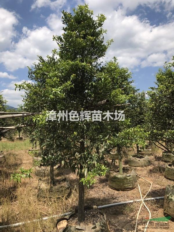 竹柏价格_竹柏价格图片库_漳州色辉苗木场_中国园林网