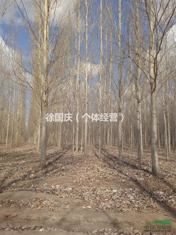 黑龙江供应银中杨5-22公分糖槭2-18公分,杨树苗