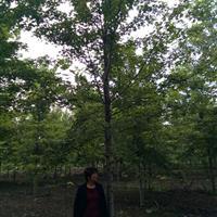 山东济宁美国红枫供