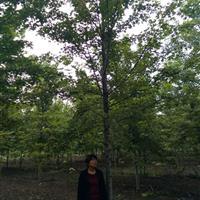 美国红枫基地苗供应