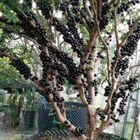 福建树葡萄水果绿化苗木