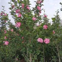 出售丛生木槿·独杆木槿·木槿价格·图片·产地