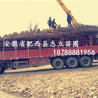 肥西苗圃基地/出售各种规格苗木红叶李/三角枫/乌桕/中华石楠