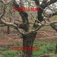 古树山楂树・百年大山楂树・大山楂树价格・山西大山楂树基地
