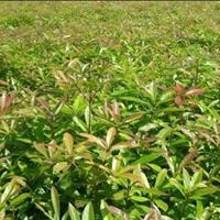 木荷种植技术·江西造林木荷小苗·1年生木荷小苗*大基地