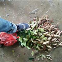 红叶石楠地栽高度30以上,价格0.38 萧山色块苗