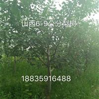 哪里有梨树?梨树基地在哪里?梨树种植产地地址山西梨树