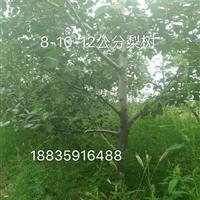 梨树种植基地・梨树产地山西运城・哪里有占地用的大梨树?