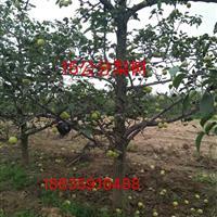 哪里有大梨树?山西哪里有大梨树卖?梨树产地地址在什么地方?
