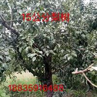 哪有大梨树?占地用的大梨树?地径15-20公分大梨树多少钱?