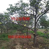 占地梨树价格图片・占地梨树产地・大量出售占地梨树・山西梨树