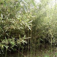 优质青竹、小毛竹、等各种竹苗