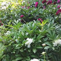 基地直销 观赏盆栽花卉多年生芍药 品种齐全货源充足 量大优