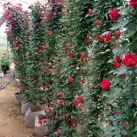 苗圃直销绿化工程苗木 欧月藤本月季盆栽藤本月季规格齐全量大
