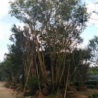 福建省漳州市,供應叢生樸樹,單桿樸樹