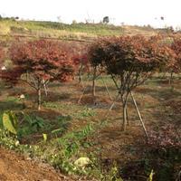 供有大規格紅楓12公分到19公分有幾百支