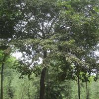 朴树价格,18公分朴树价格,20公分朴树价格