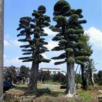 大规格造型榆树价格 湖南大规格榆树报价行情 造型榆树行情走势