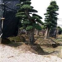 湖南专业生产优质的大规格造型榆树 造型榆树的最新价格