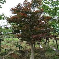 湖南红枫价格 本土红枫和美国红枫的区别 红枫的品种 湖南价格
