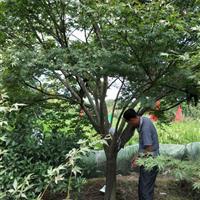 供有大規格紅楓14公分到19公分有300支