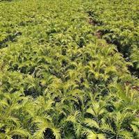 陕西商洛地区供应10-60公分三尖杉苗木