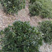 大叶黄杨球型灌木小叶黄杨雀舌黄杨绿化工程用