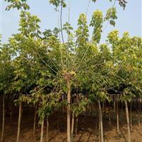 河北保定复叶槭基地 复叶槭报价格优惠