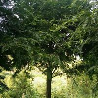 大规格红豆杉价格 湖南红豆杉大树报价 湖南红豆杉价格比较便宜