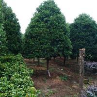 今年湖南红豆杉价格走势 优质的湖南红豆杉报价表 红豆杉的价值