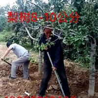 占地梨树什么地方多?地径8公分10公分15公分占地梨树多少钱