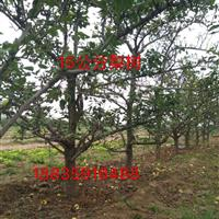 大规格占地梨树·大规格占地梨树价格·地径15-20公分大梨树